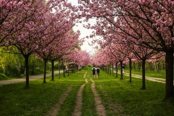 2018 Apr 22 - Cherry Blossom in Berlin-13