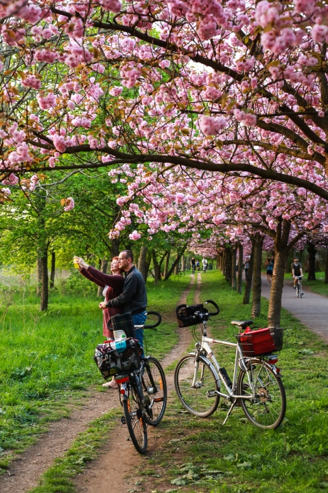 2018 Apr 22 - Cherry Blossom in Berlin-36
